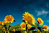 Постер, плакат: красивой подсветкой подсолнухи в мягкой утреннего света с голубое небо и белые облака с комнатой для