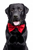 Black Labrador In The Bow Tie