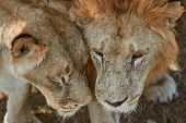 Close-up Portrait Of Lions. Lion And Lioness Rub Their Faces. Scarred Lion Face. Predator S Love. poster