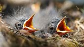 Close-up Of Tiny Yellow Beaks Of Newborn Birds In The Nest. Open Beaks Of Small Birds In Straw Nest  poster