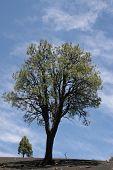 Pinyon Pines