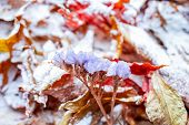 Bright Orange Autumn Leaves Covered With A Light Layer Of Snow. Leaves In The Snow. Snow Lies On Aut poster