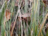 An Ordinary Frog Sits In The Grass. Close Up Photo Of Yellowish Frog. Amphibians poster