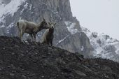 Two Mountain Goats on Athabasca