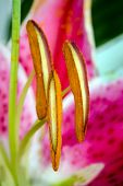 picture of stargazer-lilies  - Close up macro of stargazer lily flower