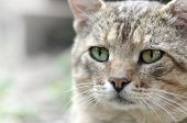 Sad Muzzle Portrait Of A Grey Striped Tabby Cat With Green Eyes, Selective Focus poster