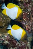 Pair of Pyramid Butterflyfish
