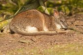 foto of tammar wallaby  - A sleeping parma wallaby in a dutch zoo - JPG
