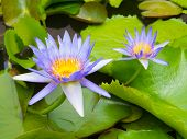 Purple Lotus Blossoms Or Water Lily Flowers Blooming On Pond,purple Lotus,purple Flower poster