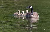 image of mother goose  - A Canadian goose swimming with her goslings - JPG