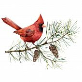 Watercolor Christmas Composition With Cardinal Bird. Hand Painted Winter Card With Bird, Fir Branch  poster