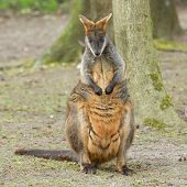 stock photo of tammar wallaby  - Close-up swamp wallaby in a dutch zoo