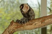 pic of marmosets  - One Tufted - JPG
