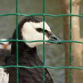 Barnacle Goose In Captivity