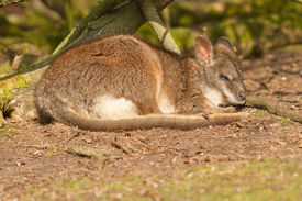 image of tammar wallaby  - A sleeping parma wallaby in a dutch zoo - JPG