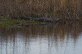 Alligator Perched for Action