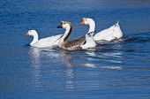 Chinese Geese (Anser cygnoides)