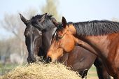 stock photo of breed horse  - Black and chestnut horses eating hay from bale - JPG