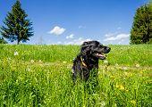 Dog sitting in a Summer Meadow