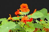 stock photo of nasturtium  - Beautiful nasturtium flowers close up against black - JPG