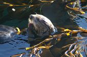 Sea Otter With Kelp