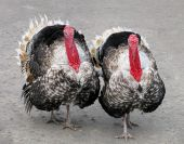 picture of turkey-cock  - Two turkeys  - JPG