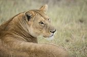 African Lioness (panthera Leo) In Tanzania