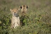 Two Cheetah Cubs (acinonyx Jubatus) In Tanzania
