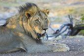 Male Lion (panthera Leo) Botswana