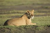 stock photo of lioness  - An African Lioness in the Ndutu region of the Ngorongoro Conservation area  - JPG
