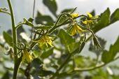 Flowerings Tomatoes
