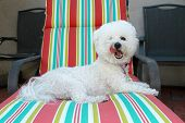 pic of bichon frise dog  - A Pure Breed Bichon Frise Smiles for the Camera - JPG