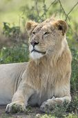 Sub Adult, Male African Lion (panthera Leo) Tanzania