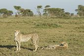 Adult Female Cheetah With Her Two Cubs (acinonyx Jubatus) Tanzania