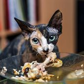 Sphinx Cat Eating Chicken