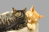 Two cats sleeping together. Isolated on grey background.