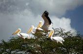 White Pelicans, Lake Nakuru, Kenya