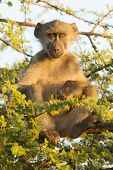 Chacma Baboon (papio Ursinus) South Africa