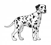 Dalmatian. Vector isolated dog.