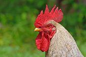 Cock portrait