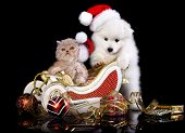 foto of puppy christmas  - White dog spitz  and kiten Persian  wearing a santa hat - JPG