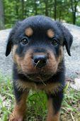 Rottweiler Puppy 5