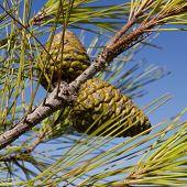 Green Pine Cones Against Blue Sky