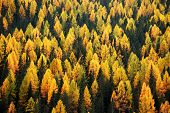 Larch forest abstract background