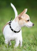 Small chihuahua dog with a brave expression standing on green grass with a shallow depth of field