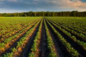 image of potato-field  - Countryside with potato field and trees in the distance - JPG