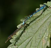 Common Blue Damselfly Mating