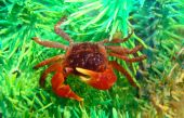 Red Midget Mangrove Crab Lately In Aquarium