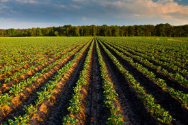 stock photo of potato-field  - Countryside with potato field and trees in the distance - JPG