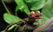 picture of gekko  - A Leaf Gecko, licking its eye ball